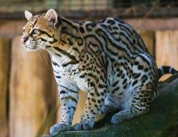 1168px-Ocelot_(Jaguatirica)_Zoo_Itatiba